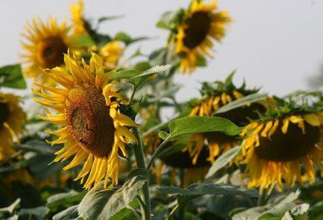 غزل گل آفتابگردان شفیعی کدکنی
